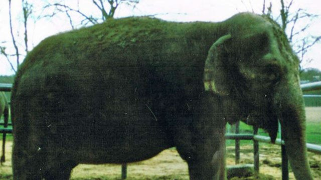 Vet Working To Move Rosie The Oklahoma Elephant To Maine