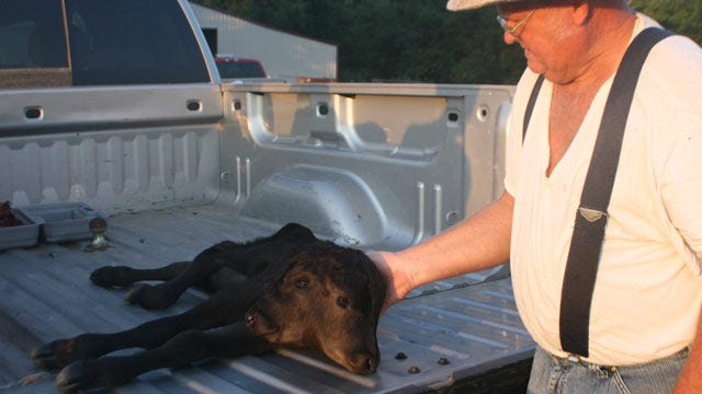 Porum Rancher's Cow Gives Birth To Rare Two-Headed Calf