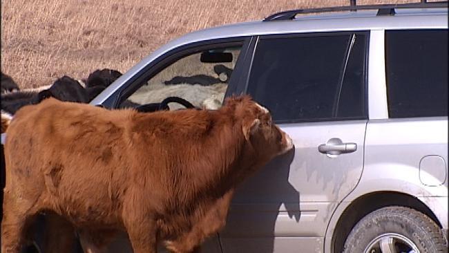 News On 6 Vehicle Becomes Mobile Salt Lick In Ramona Pasture
