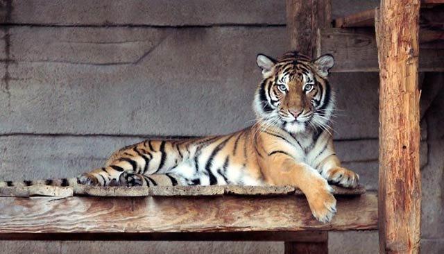 Tulsa Zoo Welcomes New Tiger