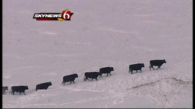Oklahoma Ranchers Struggle After Weeks Of Snow