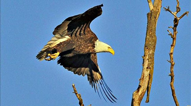 View Bald Eagles On The Arkansas River This Sunday