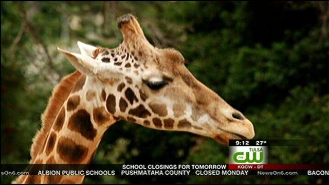 Tulsa Zoo Close To Finishing Giraffe Barn