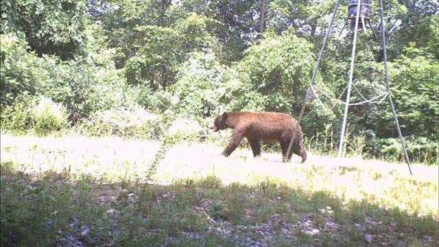 Black Bears Spotted In Cherokee County