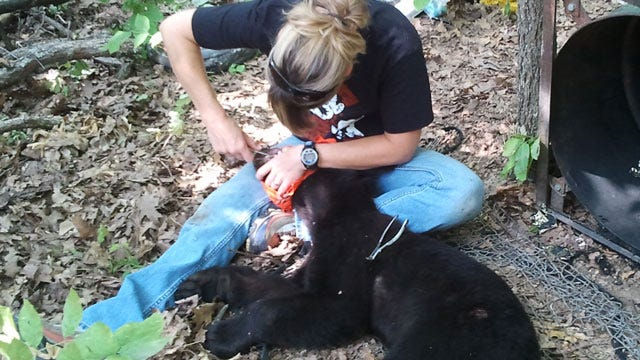 State Trapping Black Bears In Eastern Oklahoma