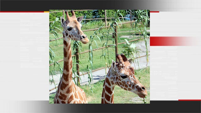 Two New Female Giraffes Arrive At Tulsa Zoo