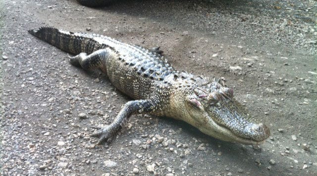 Alligator Found Shot To Death Along Illinois River