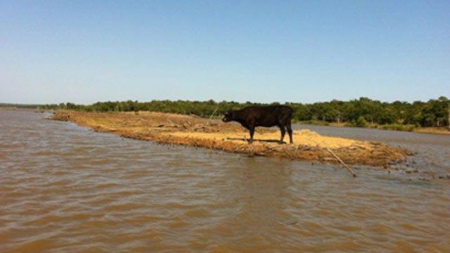 Moo-Rooned: Cow Stranded On Small Lake Eufaula Island