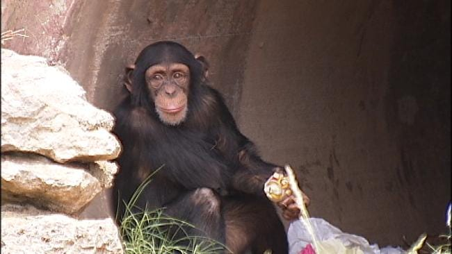 Tulsa Zoo Celebrates Bernsen The Chimp's Birthday