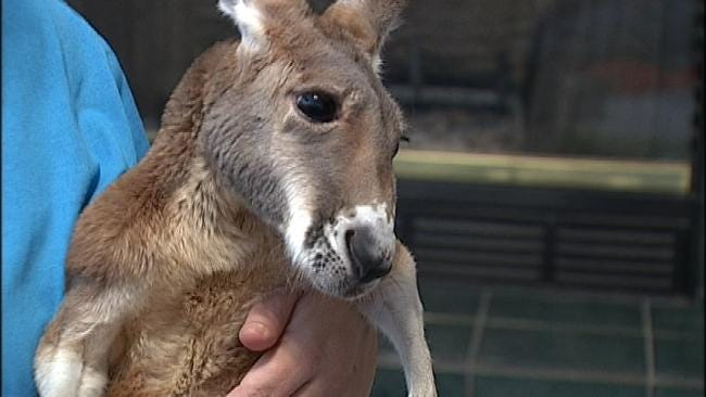 Broken Arrow City Council Delays Decision On Injured Kangaroo