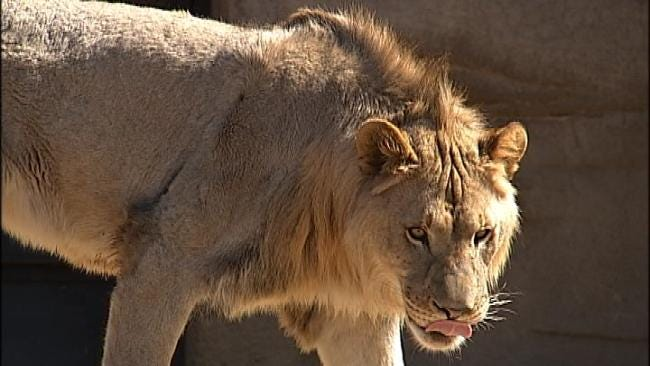 Tulsa Lion Cub's Birthday Party Highlights Plight Of African Lions