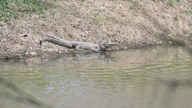 Alligator Spotted In Eastern Oklahoma