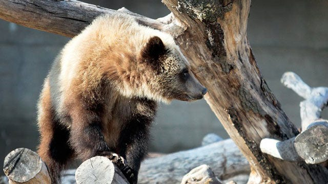 One Of Tulsa Zoo's Three Grizzly Bears Has Died