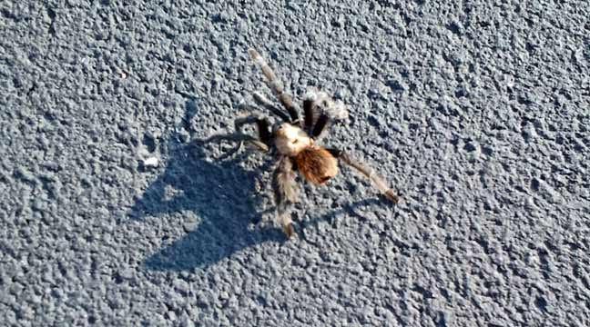 September Is Oklahoma's Tarantula Migration Time