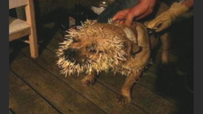 Mannford Pit Bull Smarting From Encounter With Porcupine