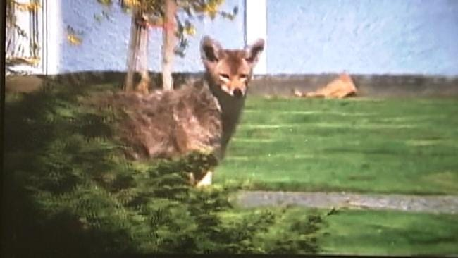 Oklahoma Residents Say Coyotes Prey On Pets, Even In Urban Areas