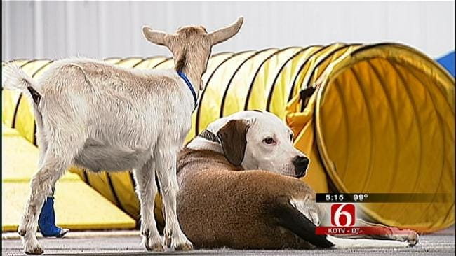Oklahoma Pit Bull Adopts Goat As Her Own
