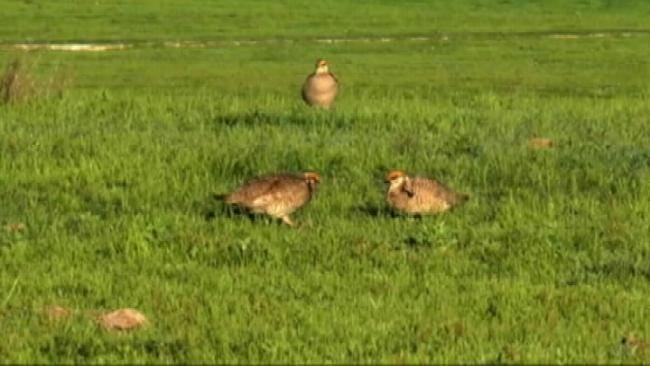 Green Country Biologist On Importance Of Threatened Lesser Prairie-Chicken