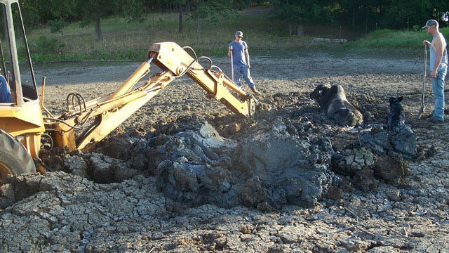Haskell Family Rescues Bull From Muddy Predicament