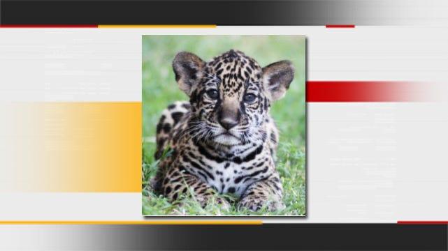 Tulsa Zoo Puts New Jaguar Cubs On Exhibit This Weekend