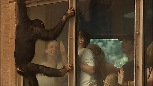 Bernsen The Tulsa Zoo Chimp Turns Five