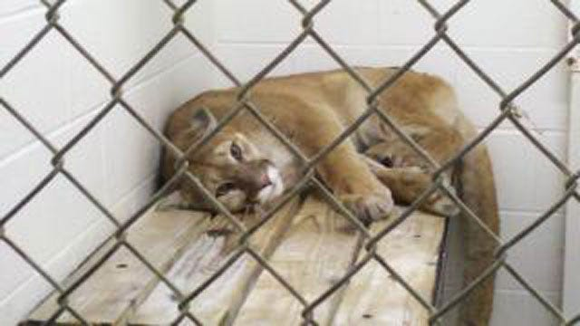 Study: Cougars Again Spreading Across Oklahoma And The Midwest
