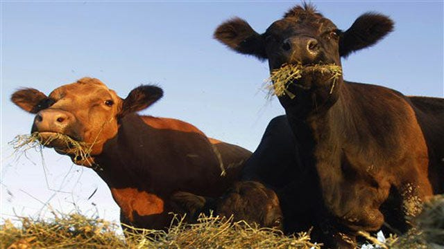 Calf Butchered In Rogers County Roadway, Reward Offered For Leads