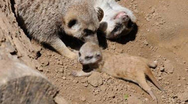 New Meerkat Pup Thriving At Tulsa Zoo