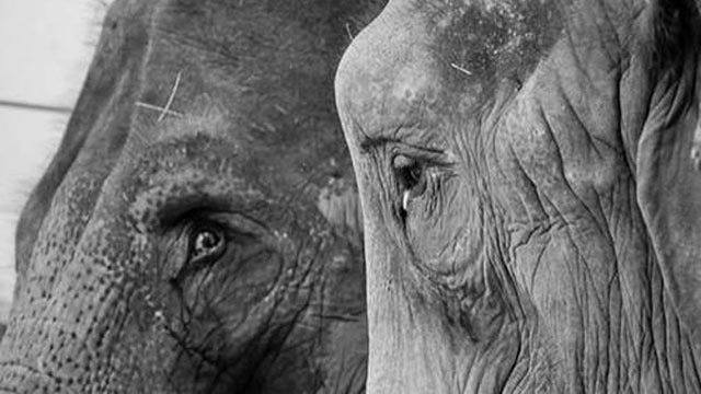 Two Retired Oklahoma Circus Elephants Now Living In Maine