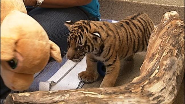 Tulsa Zoo Tiger Cub Rejected By Mom, Headed To New Zoo