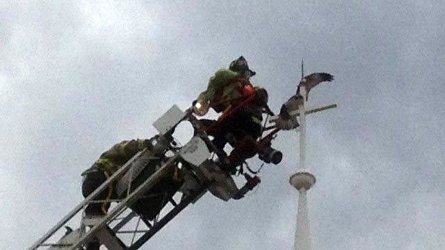 Young Osprey Dies After Daring Rescue From Stillwater Church Steeple