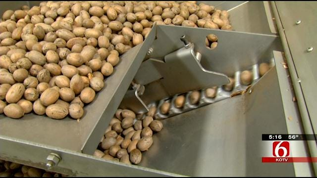 Get Lesson In Oklahoma Pecan Harvesting
