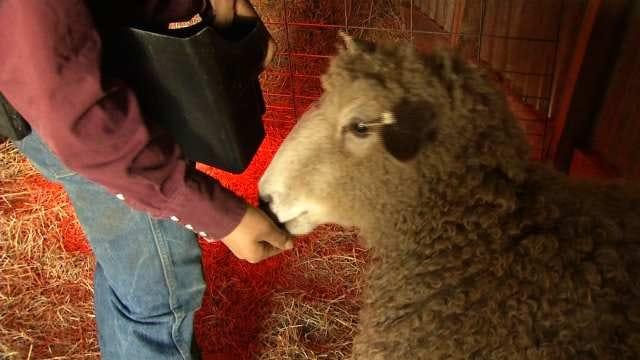 Rare Quadruplet Sheep Born At Lenapah Farm