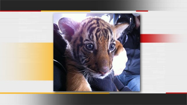 Health Deteriorates For Former Tulsa Tiger Cub In Tacoma Zoo