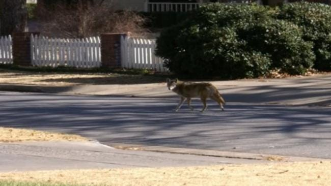 Urban Coyotes Causing Problems For Some Tulsa Families