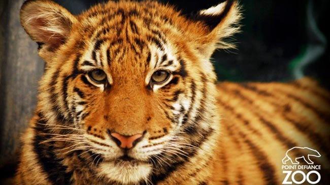Tiger Cub Berani Recovering From Critical Illness