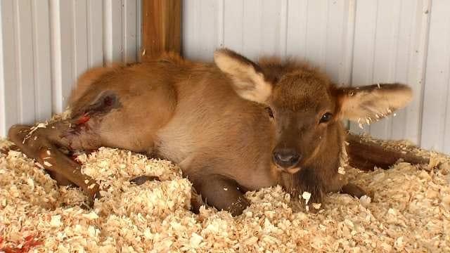 Owner: Pet Elk Shot In Cherokee County Doing Better
