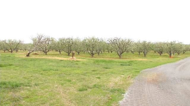 Oklahoma Peach Farmers Take Precautions For Freezing Temperatures