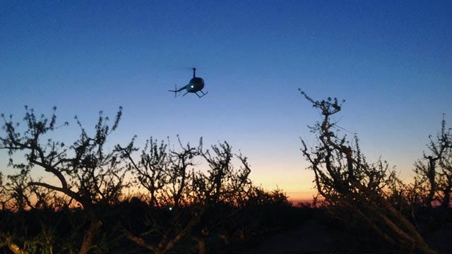 Helicopters Used To Save Porter Peach Farmer's Crop