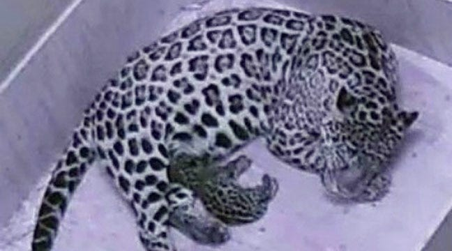 Jaguar Cub Born At Tulsa Zoo
