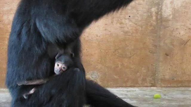 Tulsa Zoo Announces Birth Of Siamang