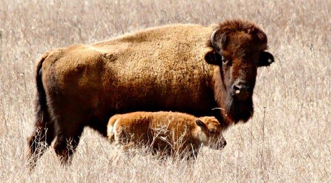 Cherokee Nation Joins InterTribal Buffalo Council
