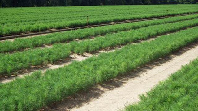 Oklahoma Forestry Services Offers Seedlings For Sale