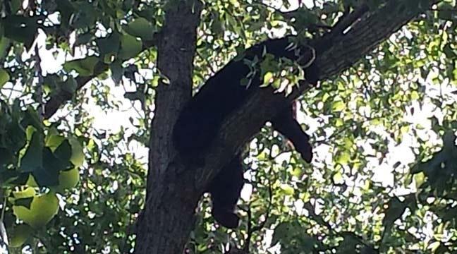 Bear In Tree Brings Wildlife Crews To Wagoner County