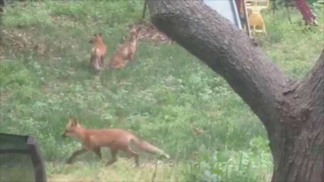 Fox Family Makes Home In Tulsa Woman's Backyard