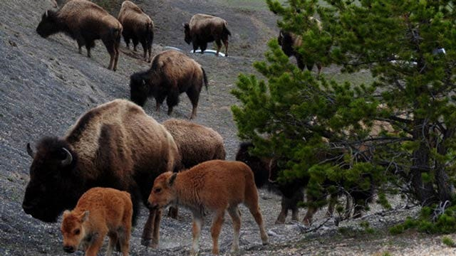 Two Oklahoma Tribes Ask For Bison From Yellowstone National Park