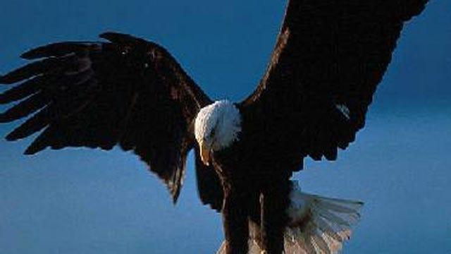 Bald Eagle Shot, Killed In Northwest Arkansas