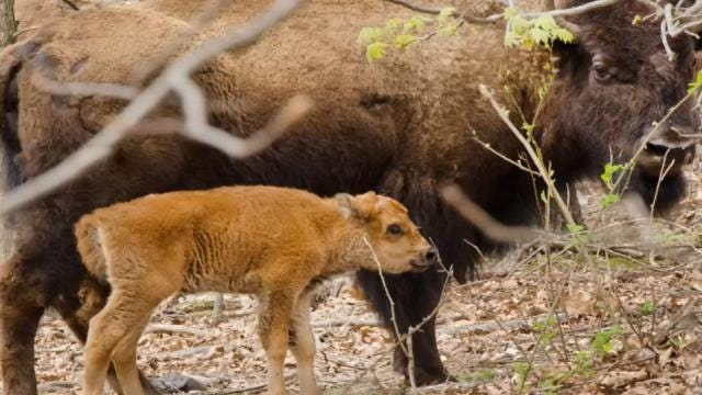 Bison Herd Relocated To Cherokee Land Delivers First Baby