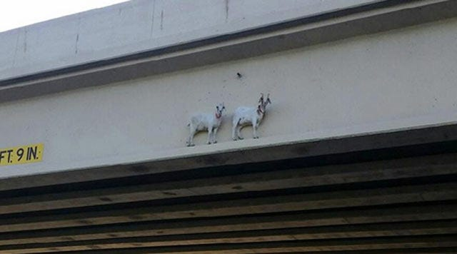 Goats Get Social Media Mileage For Oklahoma Turnpike Authority