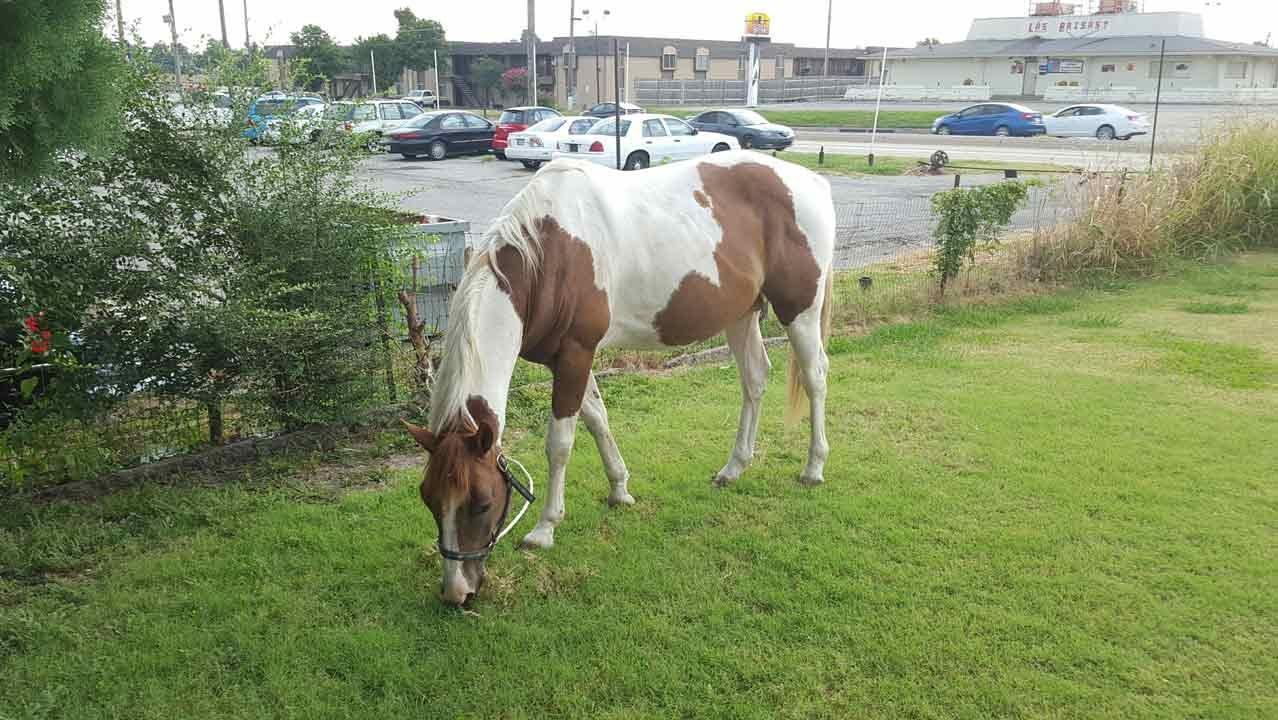 Good Samaritans Wrangle Horse Running Loose In Tulsa